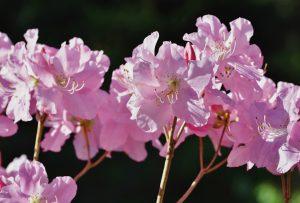 Рододендроны расцвели в парке «Зарядье». Фото: pixabay.com